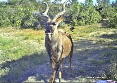 2009 - 3rd Place - Oxpeckers landing on kudu bulls - Brad Fike