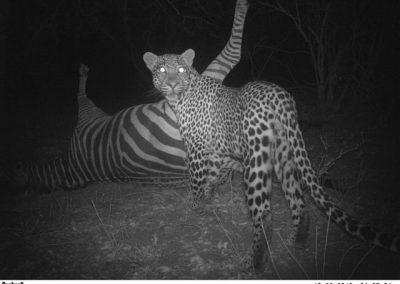 2010 - CLASSICAL - Leopard on zebra kill - Lissataba - Donovan Peel