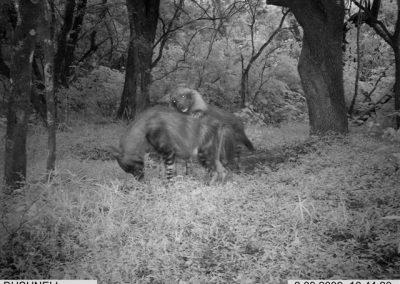 2010 - UNUSUAL - Brown hyenas courting2- Carl Huchzermeyer