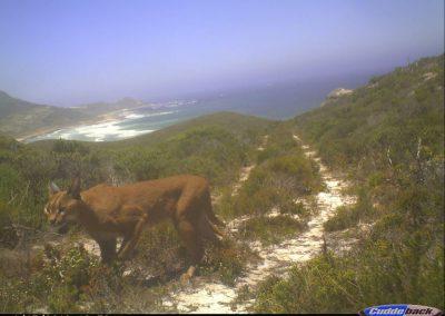 2012 Caracal - Table Mountain - SANParks