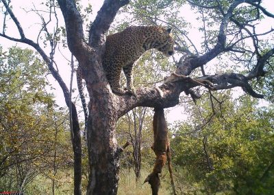 2013 CLASSICAL - Leopard in tree with kill - Simon Riekert