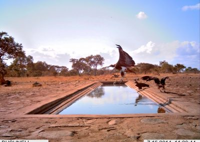 2014 IMPOSSIBLE - Hooded vulture taking off - Peter Powell - Undisclosed