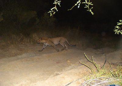2015 Cape Leopard - Deon Coetzee