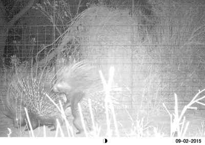 2016 UNUSUAL - Porcupines mating - S McAuley