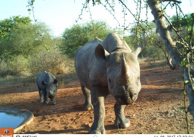 2017 Black rhino and calf - LH - Undisclosed