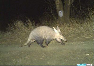Aardvark - Chris Kelly - Mkuze