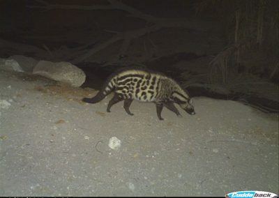 African Civet - Wilderness Safaris