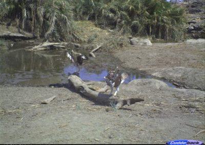African Hawk Eagles - Wilderness Safaris