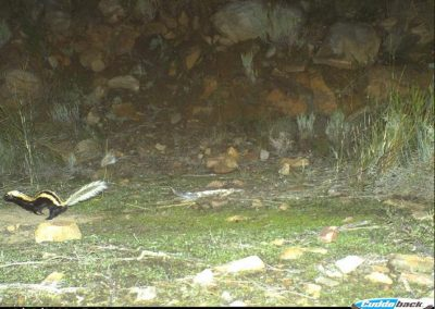 African striped weasel - Cape Leopard