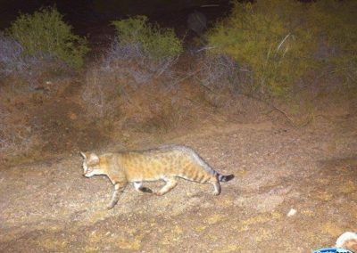 African wild cat - Tankwa Karoo - Eric Halleen