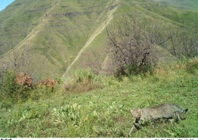 African wild cat1 - Maliba Lodge - Lesotho