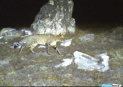 African wildcat - Cape Leopard Trust