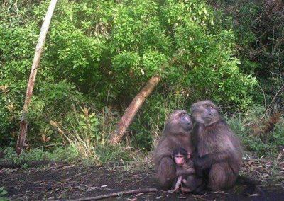 Baboon family protrait - Heather Dalton - Flower Valley