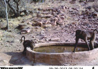 Baboon gang - Innocent Buthelezi