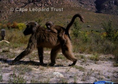 Baboon passing - Cape Leopard Trust