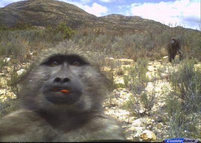 Baboon pulling tongue - Alan Lee