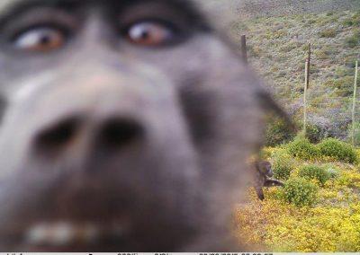 Baboon selfie - Nic Retief