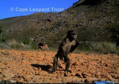 Baboon standing - Cape Leopard Trust
