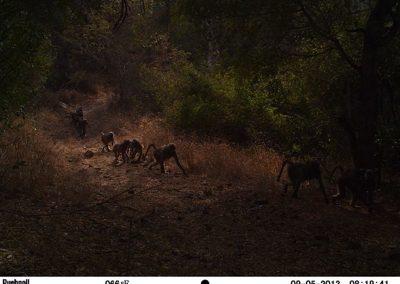 Baboon troop passing - Craig Symes