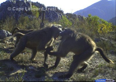 Baboons fighting - Cape Leopard Trust
