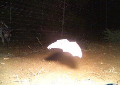 Bat in flight - Villiers Steyn - HWE