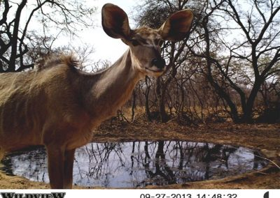 Big eared kudu - Innocent Buthelezi