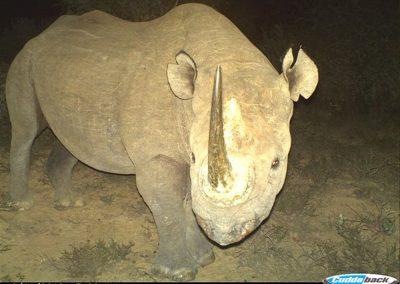 Black Rhino - D Peinke