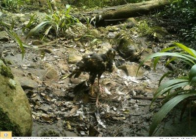 Black Sparrowhawk on Hadeda KKNR - Paolo Candotti