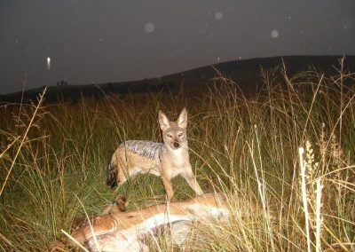 Black-backed Jackal - Gary Bennetts