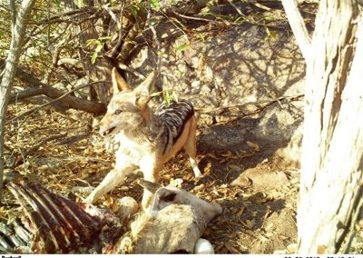 Black backed jackal on kill - Lissataba - Donovan Peel