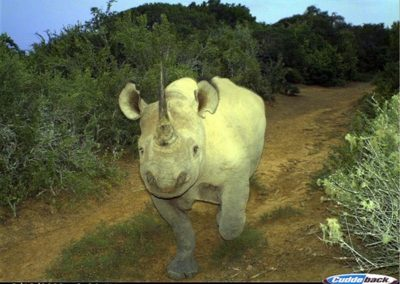 Black rhino - Undisclosed