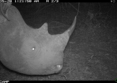 Black rhino - Undisclosed RMSLCV