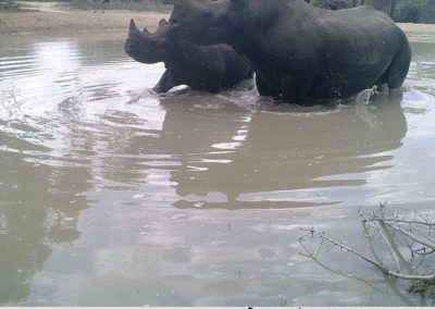 Black rhino and calf in water - S McAuley