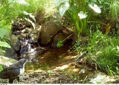 Black sparrowhawk - Henry de Lange - W Cape