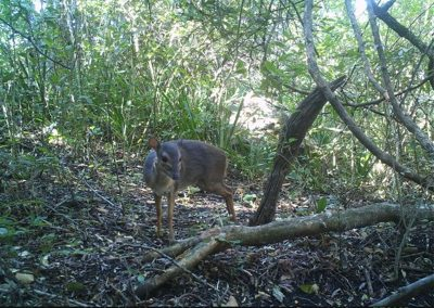 Blue duiker - James Cary - Wild Coast