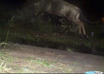 Blue wildebeest leap - Lorraine Boast