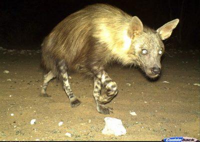 Brown hyena - Lorraine Boast