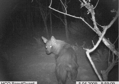 Brown hyena - Louisa Richmond-Coggan