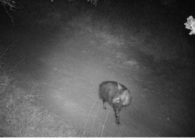 Brown hyena - Rodney - Undisclosed