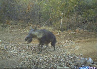 Brown hyena carrying pup1 - Kaingo PGR - Keith Liston