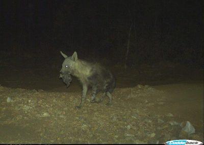 Brown hyena carrying pup2 - Kaingo PGR - Keith Liston