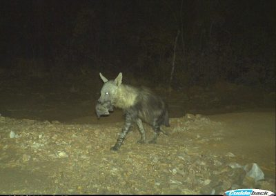 Brown hyena carrying pup3 - Kaingo PGR - Keith Liston