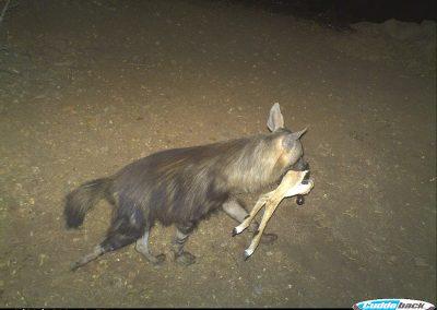 Brown hyena with kill - Gehard Rosenmann - Tuli Block