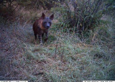 Brown hyena5 - Louisa Richmond-Coggan