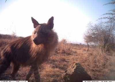 Brown hyena7 - Louisa Richmond-Coggan