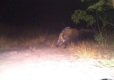 Bush pig - Nat Geo Okavango Wilderness Project - Angola
