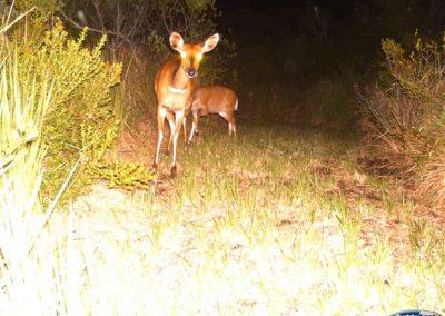 Bushbuck - St Francis Links - Charl Blaauw