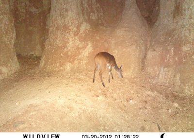 Bushbuck eating soil - Hennie Butler - UFS