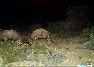 Bushbuck rams fighting - Brad and Mary Fike