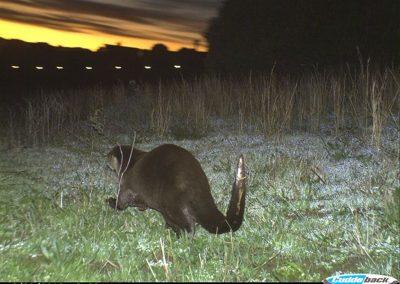 Cape clawless otter - Henry de Lange - W Cape